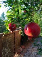Pomegranates in the yard