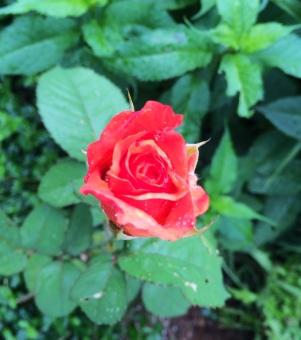 First long stem rose