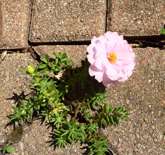 Moss Rose coming up